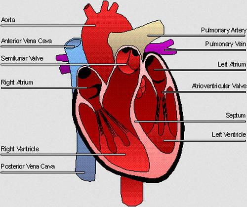 Human Heart Diagram - Anatomy, Cardiac cycle, Physiology ...